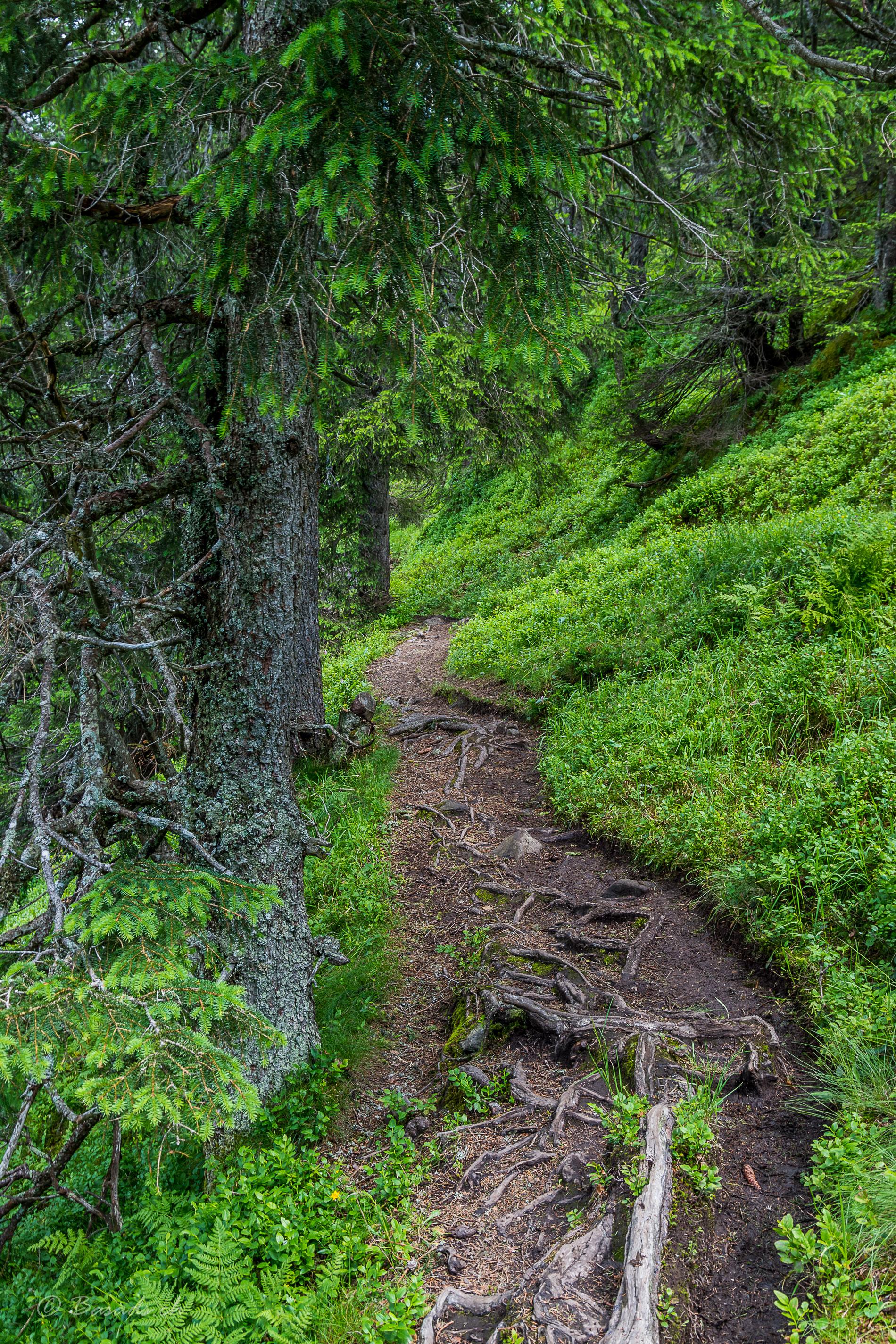 Verwurzelte Wanderwege in den Berner Alpen