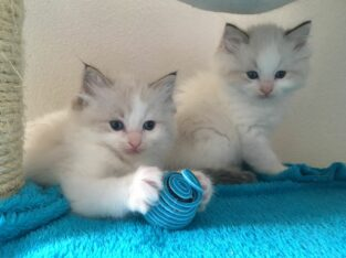 Ragdoll schmuse kitten zu verkaufen – Büsi vom März 18