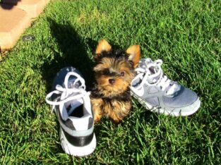 Yorkshire Terrier Welpen black and tan mit Papieren