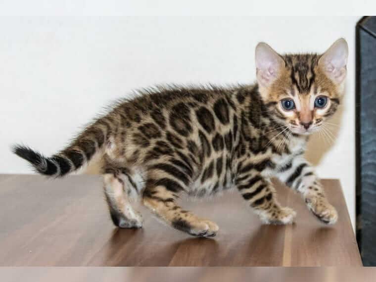 Wunderschöne reinrassige Bengal Kitten mit Stammbaum zu verkaufen