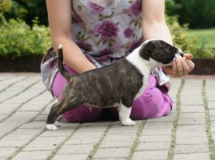 Reinrassige Miniature Bull-Terrier*