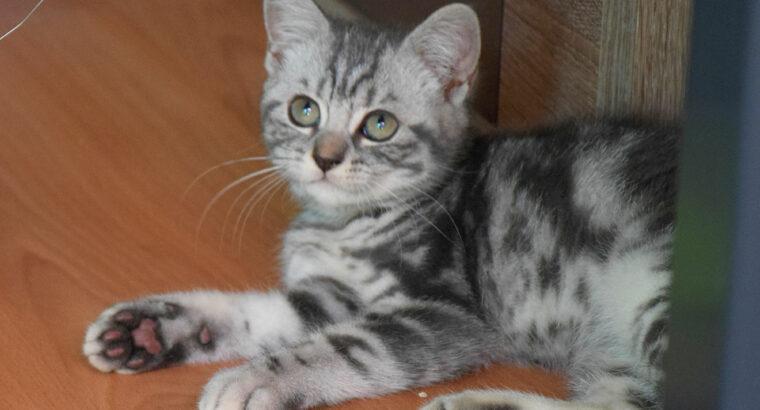 Herzige BKH Kitten in Blue-Silver-Tabby-Classic