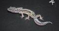 Leopardgecko