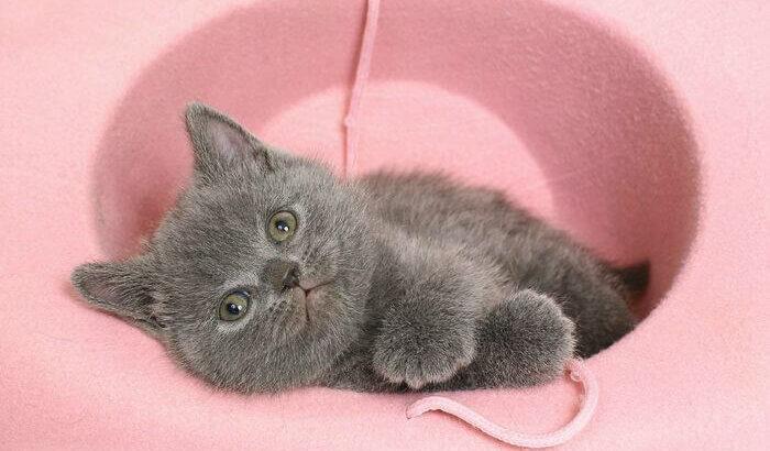 Reinrassige BKH kitten in Farbe blau und blau-cream mit Papiere