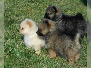 Bezaubernder Zwergspitzwelpen/ Pomeranian zu verkaufen