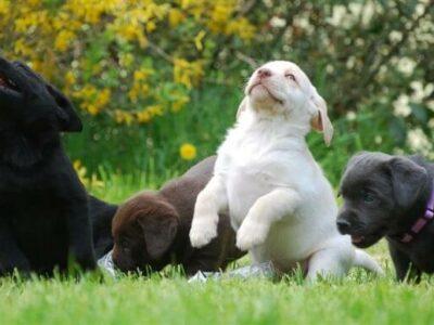 Wunderschöne Labradorwelpen -silber und braun
