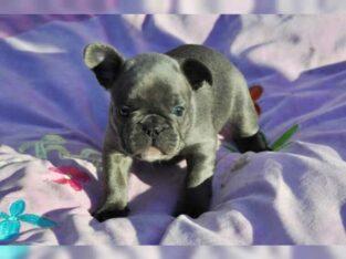 Exclusive Zuckersüße Französische Bulldogge, Welpen