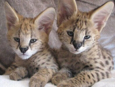 Suzy und Fred : 2 Ser val Kätzchen