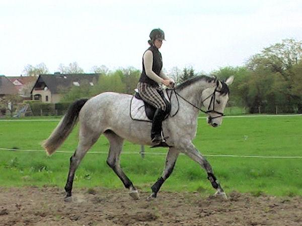 Spring Hannoveraner pferde