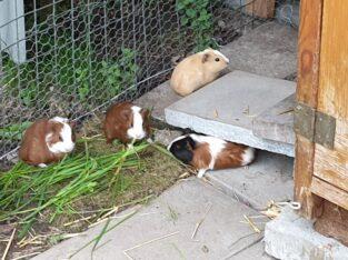 3 Meerschweinchen zu Verkaufen