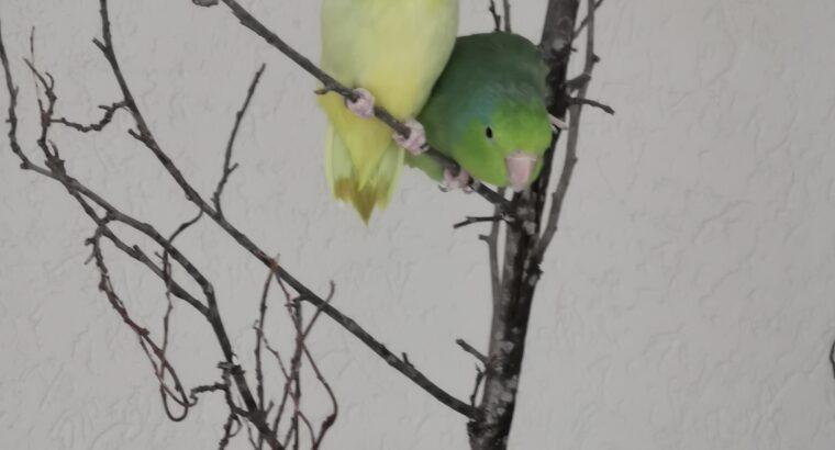 Verkaufe zwei Sperlingspapageien (gelb M 1.5 J und grün W 2.5J)