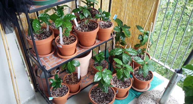 Kaffeepflanzen Arabica