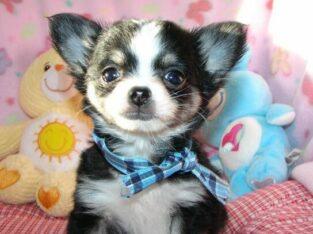 Typvolle Chihuahua Welpen mit Ahnentafel.