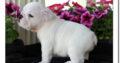 English Bulldog Welpen suchen ein neues Zuhause