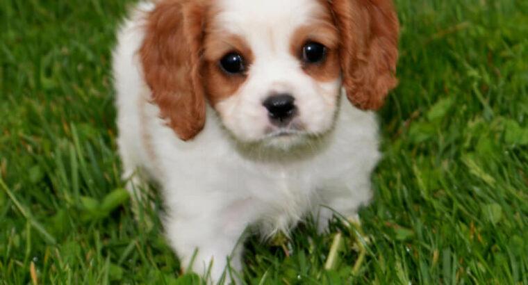 süße kleine cavalier king Charles