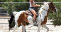 Pinto Wallach für Sport und Freizeit, Familienpferd