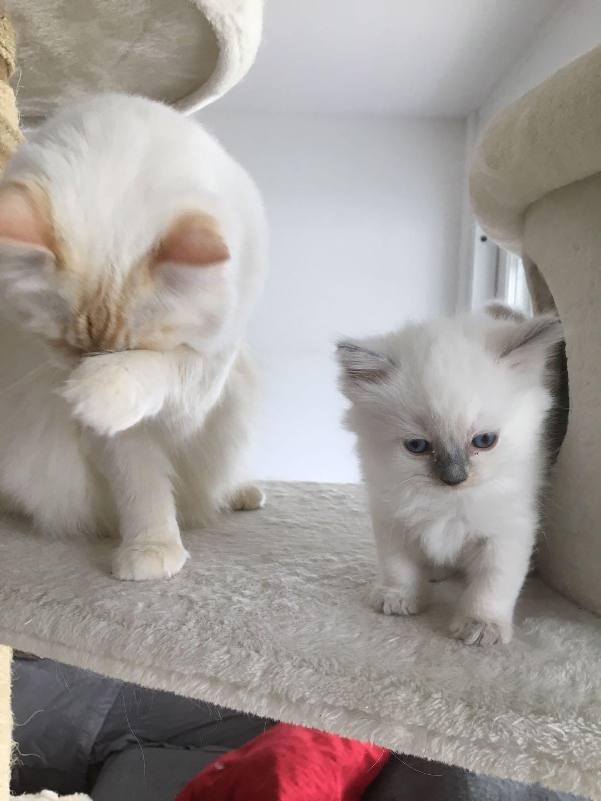 Ragdoll kitten zu verkaufen – Büsi vom März 18 (privat)