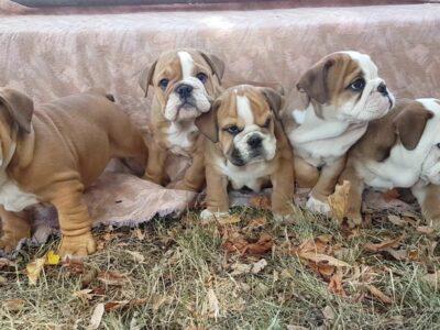 Englische Bulldoggen 4 hündine – Welpen mit Lieferung direkt auf die Adresse