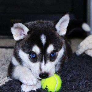 Siberian Husky Welpen Herausforderung Mit Viel Freude