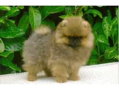 Wunderschöne kleine Pomeranian Welpen in weiß, creme und orange