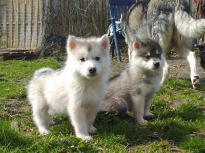 Super süße Husky Babys in seltener Farbe ab sofort abzugeben