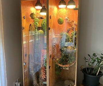Umständehalber, 2 Kronengeckos mit schönem und gepflegten Terrarium